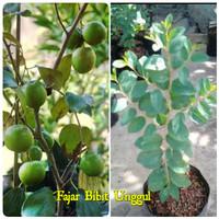 Bibit pohon bidara arab 50cm