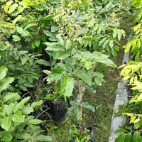 Bibit tanaman buah kelengkeng Aroma Durian(sudah berbunga/berbuah)