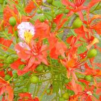 Promo 50gram (isi110) benih/ biji/ bibit bunga flamboyan orange