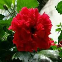bibit tanaman kembang sepatu merah tumpuk