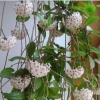 Anggrek Hoya Ball Orchid Rare Bonsai | Benih | Bibit | Biji | Tanaman