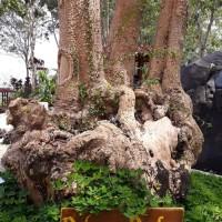 Promo Bibit Pohon Pule Pulai Bahan Bonsai