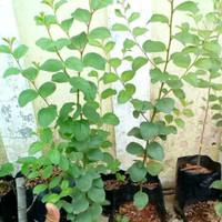 Bibit pohon bidara arab/sidr