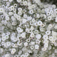 Bunga Potong Segar BABY BREATH Asli untuk Buket/ Vas Bunga/ Dekorasi