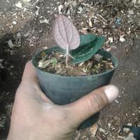 Bibit daun sirih hitam