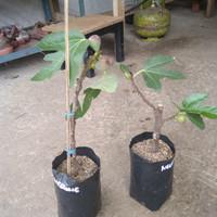 Pohon tin ara fig ficus carica negrone