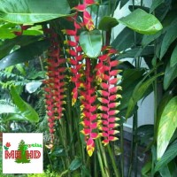 tanaman hias pisang pisangan heliconia