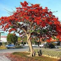 Promo 250gr biji/ benih/ bibit flamboyan merah