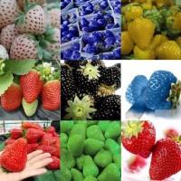 Biji benih buah stroberi / strawberry rainbow mix