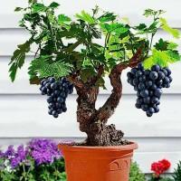 Biji benih bonsai buah anggur / grape ungu tua