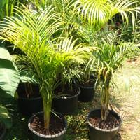 Tanaman Palm Kuning//Tanaman Indoor.