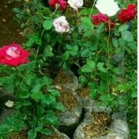 Jual pohon hias bunga mawar dll