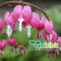 Tanaman Hias Bunga Air Mata Pengantin Bibit Pohon Rambat Pink