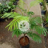 Bibit pohon pete petai/Hasil Okulasi/Tanaman buah pete petai