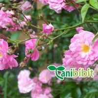 Bibit Pohon Bunga Mawar Rambat Pink Tanaman Hias Climbing Rose Unik