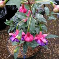 tanaman hias pot gantung/fuchsia blue