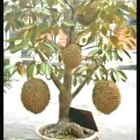 bibit durian montong bisa berbuah di pot