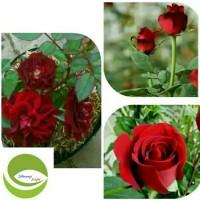 Tanaman Bunga Mawar Merah/Pohon Bunga Mawar Merah/Kembang Rose