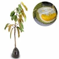 Bibit Durian Monthong Okulasi Durian Montong Bibit Duren