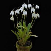 Masdevallia Coccinea Alba ala kebun bibit bunga yang Murah