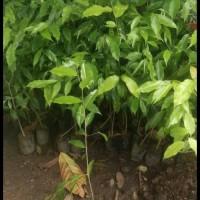 4 Bibit Tanaman Pohon Gaharu Super Unggul Bibit Terbaik