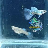 ikan Guppy Galaxy Blue Medusa