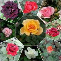 Bibit Tanaman Bunga Mawar