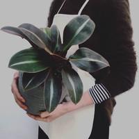 Siderasis Fuscata / Spiderwort *Rare - Tanaman hias / Indoor plant