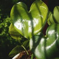 Philo / philodendron grazielae *Rare - Tanaman hias / Indoor