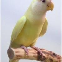 Lovebird Roseicollis Creamino / Non klep (Balibu)