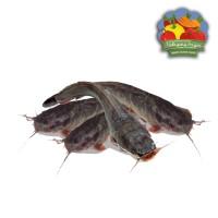 Ikan Lele Segar - 500 gram
