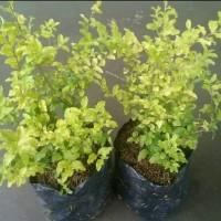tanaman hias legistrus - bahan bonsai legistrum - pagar - murah