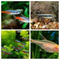 Paket Ikan Neon Tetra Aquascape Aquarium Garansi