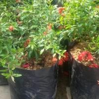 Tenar A+ Bibit Tanaman Bahan Bonsai Buah Delima Mini Berbunga Ori! K0D