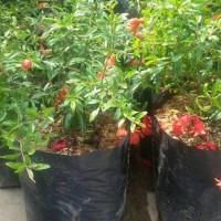 Pdc Bibit Tanaman Bahan Bonsai Buah Delima Mini Berbunga Clir