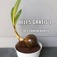 Jual Kelapa Bonsai Di Jawa Tengah Harga Terbaru 2020