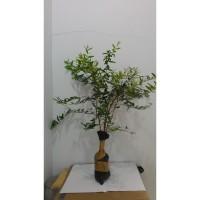 Pohon Delima Merah 50 cm pomegranate / Rumman (bibit / benih)