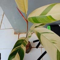 Tanaman Hias Heliconia Varigata - Pisang Pisangan Varigata