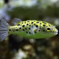Ikan Hias Mini Puffer Green Spotted Buntel Buntal Garansi