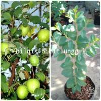 Bibit Pohon Bidara Arab Super 50-60 Cm Jaminan Kualitas