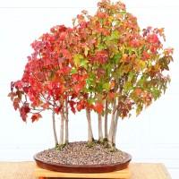 Benih Bibit Biji - Trident Maple for Bonsai Tree Seeds - IMPORT