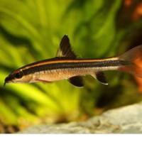 Ikan Hias FlyingFox Flying Fox Small Siamang Batang AlgaEater Garansi