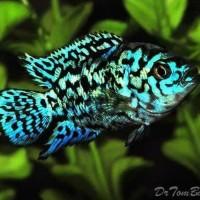 Ikan Hias Cichlid EBJD S Electric Blue Jack Dempsei Aquarium Garansi