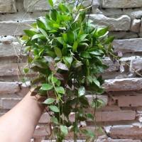 Hoya Rebecca, Jual bunga hias, bunga gantung, bunga taman