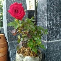 Bibit tanaman bunga mawar merah