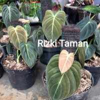 tanaman hias indoor philodendron melanochrysum-bibit-philodendron