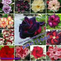 paket bibit bunga kamboja tripel