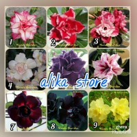 paket 10 bibit bunga kamboja tripel