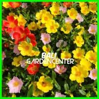 Stek Bunga Krokot Portulaca - Moss rose Grandiflora Mix