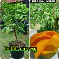 Bibit buah mangga chokanan 1 tahun berbuah